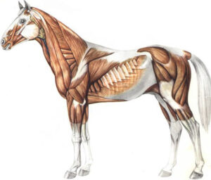 Horse musclo-skeletal system